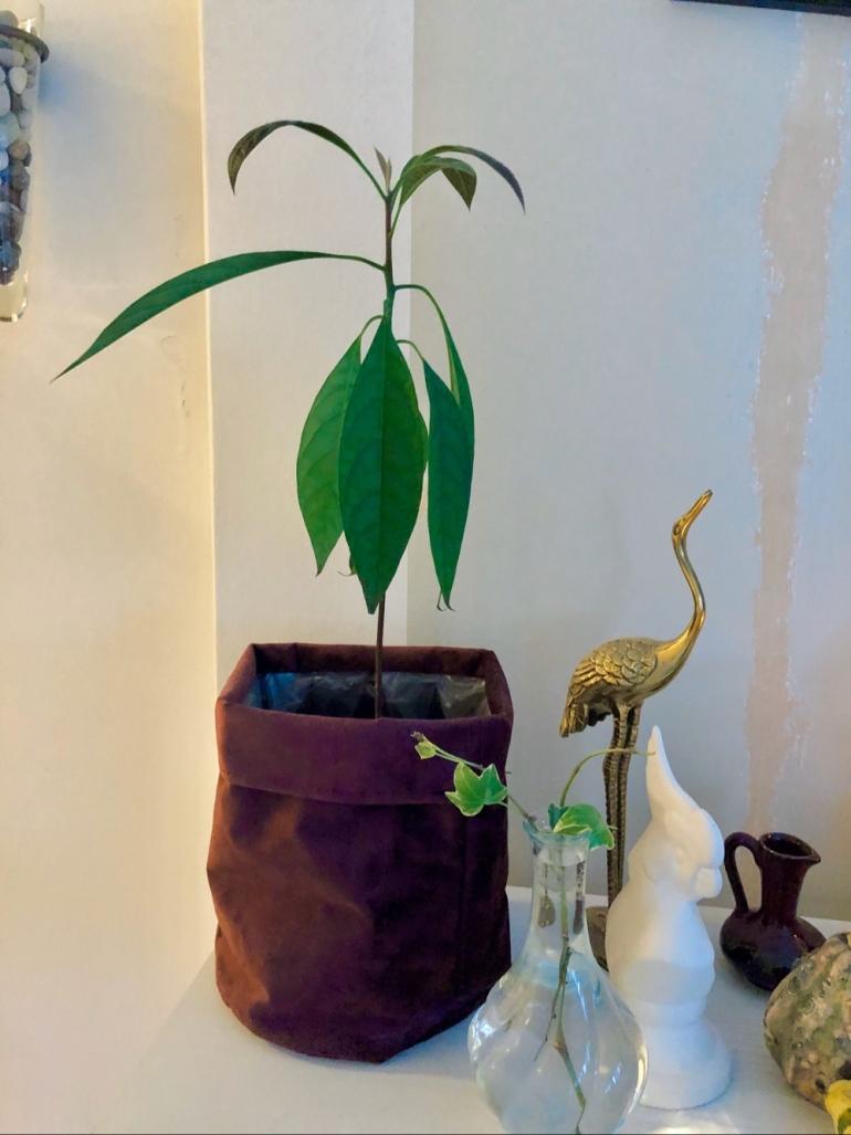 i bild syns en avokado planta i en tyg kruka berdvid en guld trana stayette av sebastian throell
