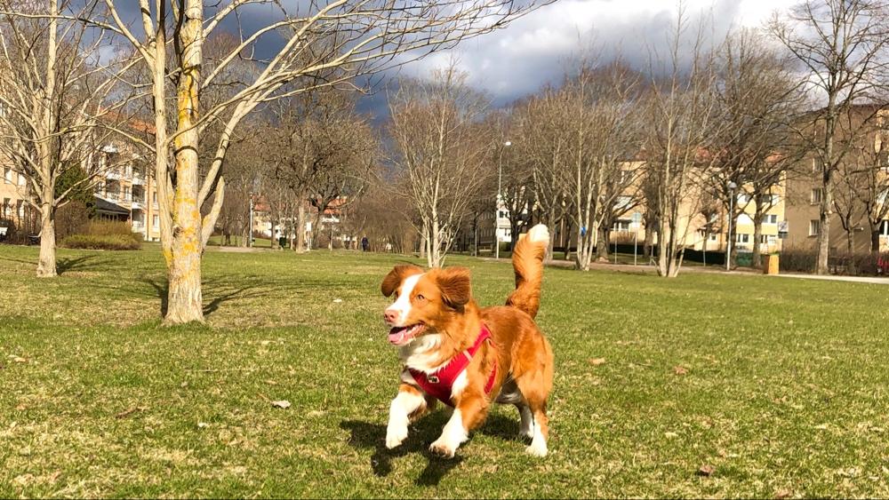 bild på en glad hund som springer i en park av sebastian thorell