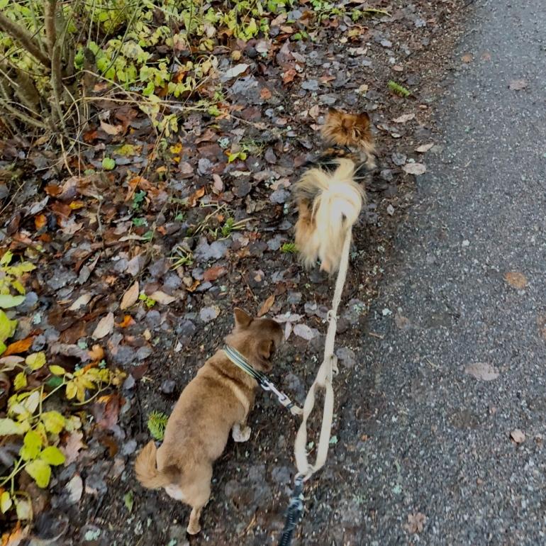 bild på två hundar chihuahua i koppel ute på en höst promenad av sebastian thorell