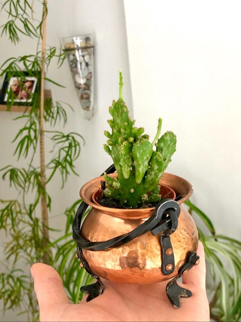 bild på en kaktus med nya skott som sitter i en koppar kittel