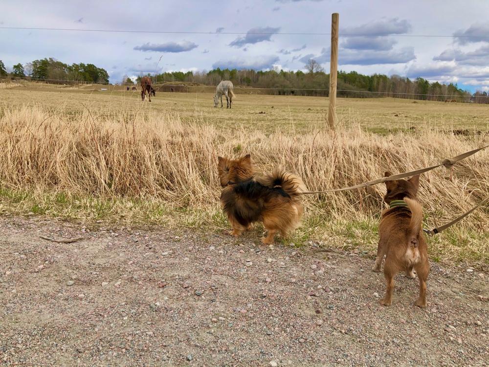 bild på två chihuahuor som tittar på hästar i hågadalen av sebastian thorell