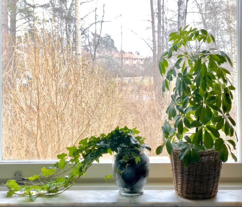 bild på fönster där en murgröna och en paraplyalia står i krukor av sebastian thorell