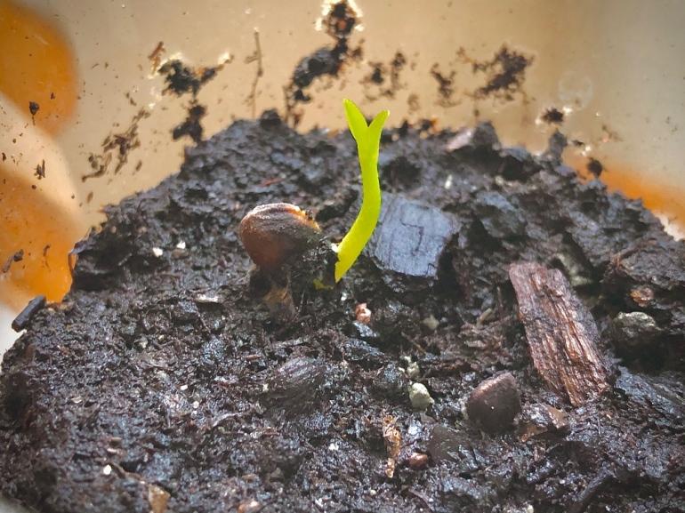 I bild syns en citron kärna som sitter i jod och slagit ut