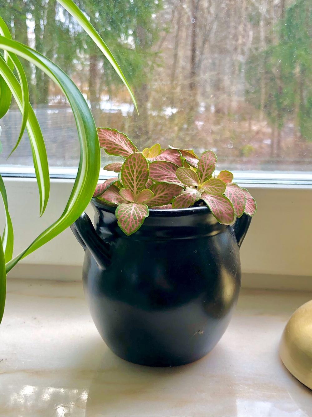 I bild syns en rosa fittonia i en liten kruka vid fönstret