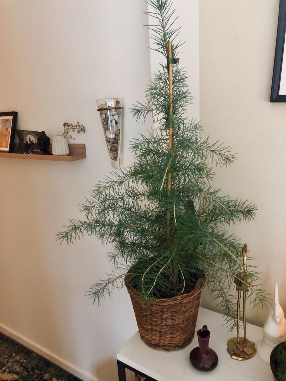 ett cederträd i flätadkruka av sebastian thorell