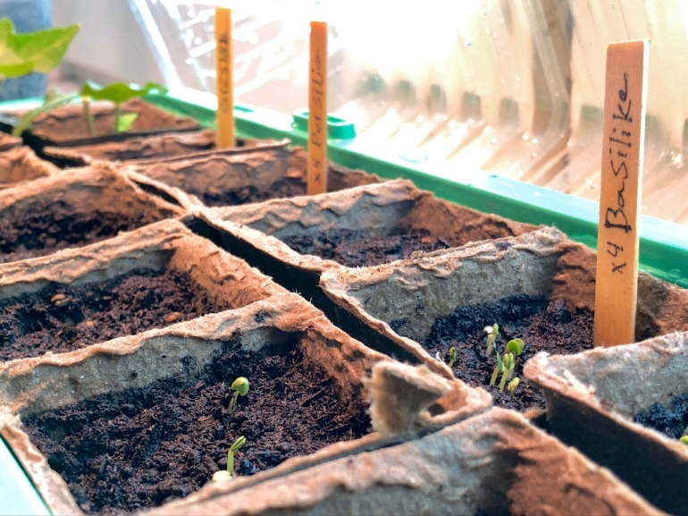 bild på mini växthus som är öppnat ur en annan vinkel och man ser kryddväxter som sticker upp ur jorden av sebastian thorell
