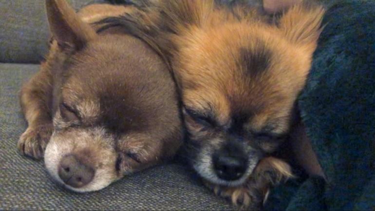Bild på två hundar chihuahua som ligger och sover tätt intill varandra av sebastian thorell
